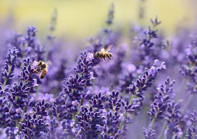 lavender 1537694 640 - 25 middeltjes tegen insecten